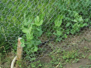 These are sugar snap peas, one of my favorite veggies. They're climbing up the chicken wire finally and starting to make buds.